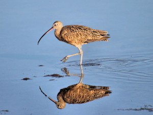 Long-billed Curlew2 1024