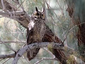 Roosting Long-eared Owl
