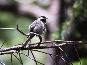Mexican Chickadee, Rustler Park, Cochise County, AZ