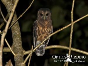 Chiapas owls - Mexican Wood Owl (Mottled Owl)