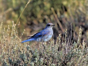 Mountain Bluebird in the California Sierra Nevada Mountains