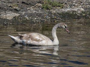 Sub-adult Mute Swan, Orange County, California