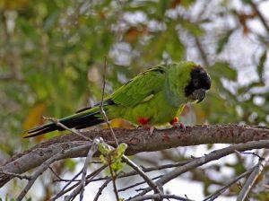 Black-hooded (Nanday) Parakeet, Los Angeles County, California