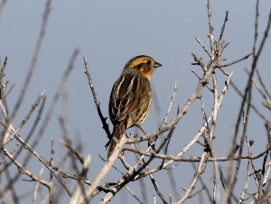 Dorsal view of a Nelson's Sparrow