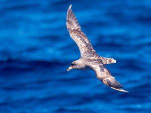 Northern Fulmar in flight