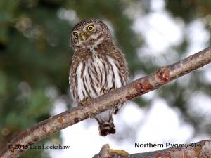 Yosemite owls - Northern Pygmy Owl photo