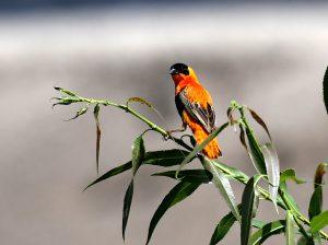 Northern Red Bishop, San Diego County, California