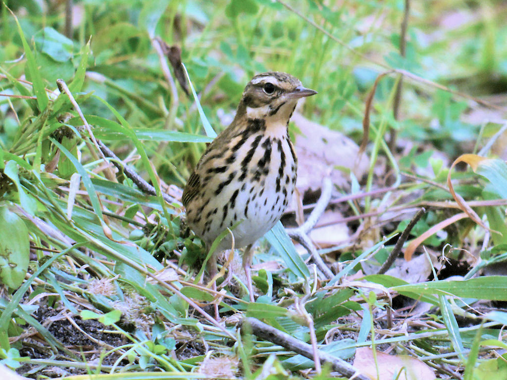 Olive-backed Pipit - shows bi-colored supercillium