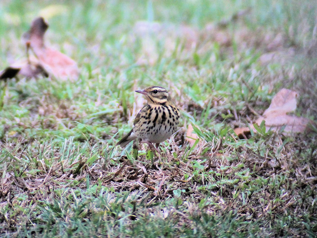 Olive-backed Pipit - shows notch in tail
