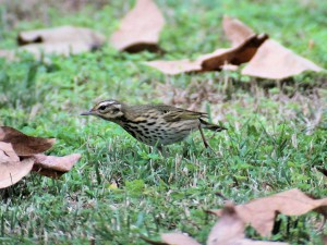 Olive-backed Pipit 9527