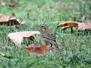 Olive-backed Pipit 9547