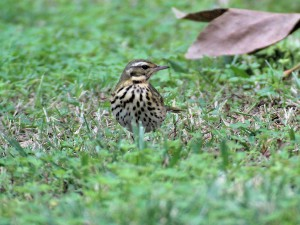 Olive-backed Pipit - frontal view showing chest streaking