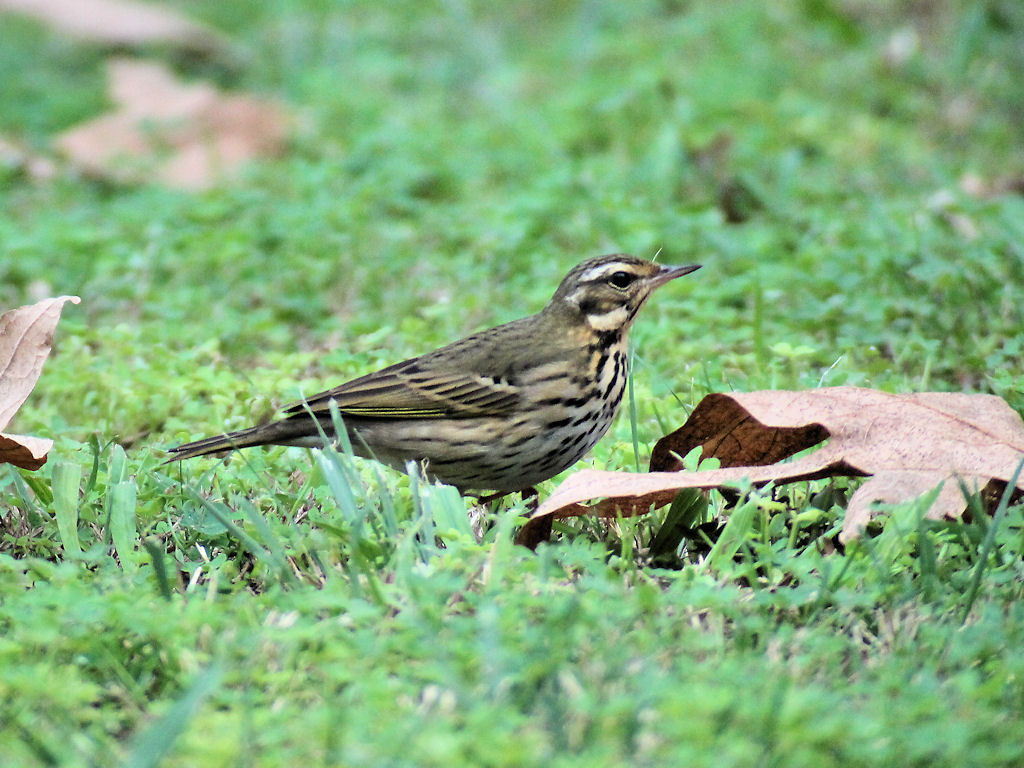 Olive-backed Pipit - shows streaking on back and green tertial edges