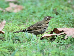 Olive-backed Pipit 9565