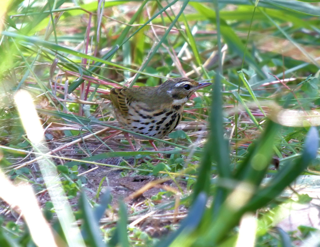 Olive-backed Pipit - shows green edging on greater coverts