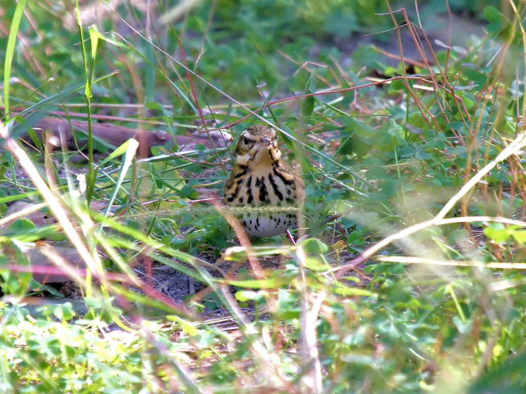 Olive-backed Pipit - face-on view