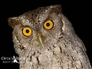 Chiapas owls - Pacific-Screech-Owl