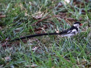 Male Pin-tailed Whydah, Orange County, CA
