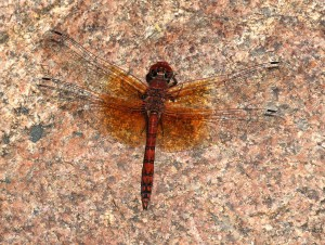 Male Red Rock Skimmer