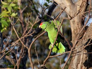 Red-crowned Amazon, common exotic parrots