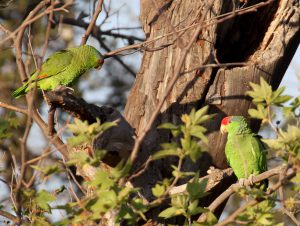 Red-crowned Parrots at a nest cavity, Orange County, California