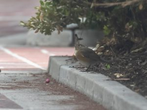 Red-flanked Bluetail on the grounds of the William Clark Library