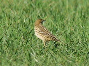 Red-throated Pipits