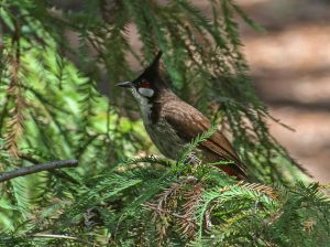 Red-whiskered Bulbul, Huntington Library, Los Angeles, California