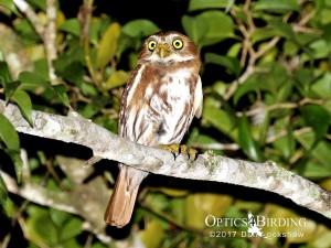 Chiapas owls - Ridgeway's Pygmy-Owl