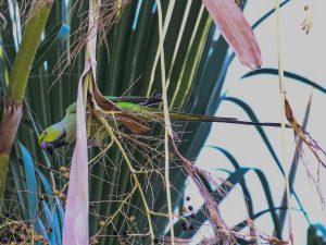 Rose-ringed Parakeet, downtown Phoenix, Arizona
