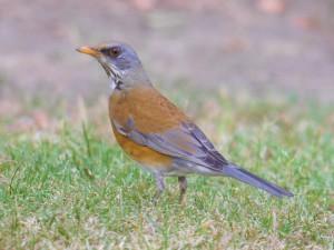 Rufous-backed Robin 0747