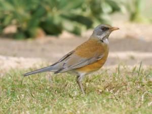 Rufous-backed Robin 0755