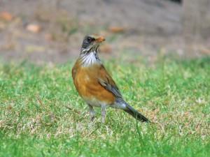 Rufous-backed Robin 1530 psp
