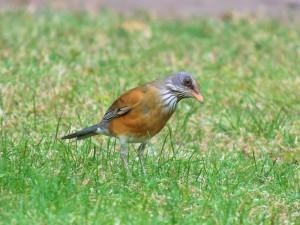 Rufous-backed Robin 1539 psp