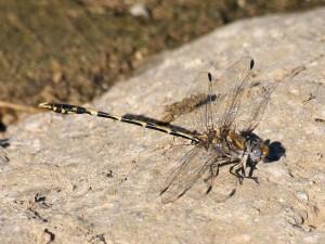 Sanddragon-Gray-2015-08-30-041