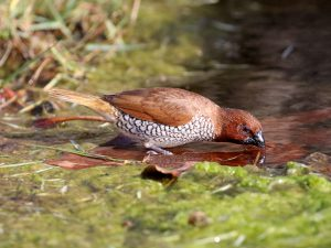 Adult Scaly-breasted Munia drinking