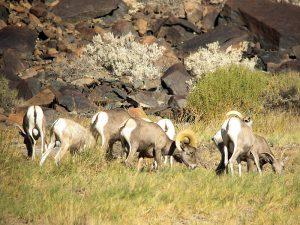 Birdless Joys of Birding - Desert Bighorn Sheep near Zzyzx.