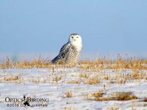 Female Snowy Owl in open field - Winter Birds of Calgary