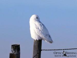 Male Snowy Owl on fence post - Winter Birds of Calgary