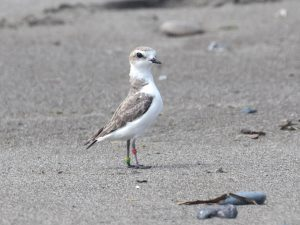 A banded Snowy Plover on the beach