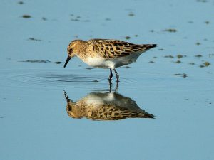 Little Sting season of shorebirds