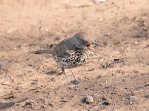 Gray Thrasher at Famosa Slough August 2, 2015