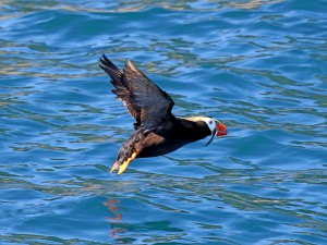 A Tufted Puffin lifting off with a candlefish in its bill, Gulf of Alaska