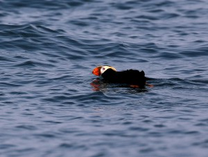 A Tufted Puffin considering its options, Fjordlands National Park, Alaska