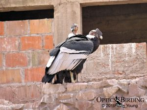 Two Male Andean Condors Preparing for Takeoff!