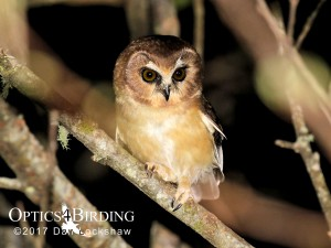 Chiapas owls - Unspotted-Saw-whet-Owl