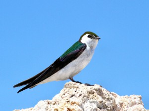 Violet-Green Swallow in the Eastern Sierra Mountains
