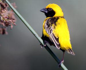 Yellow-crowned Bishop, Orange County, California