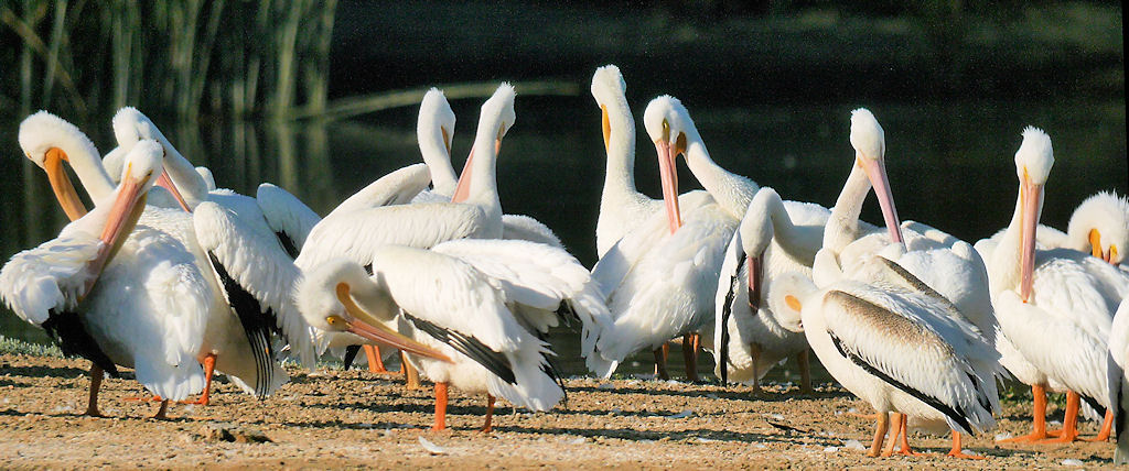 American White Pelicans Group