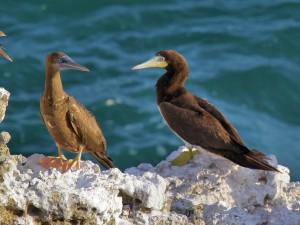 Brown Booby - Puerto Rican Birds